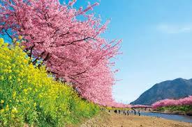 河津桜.png